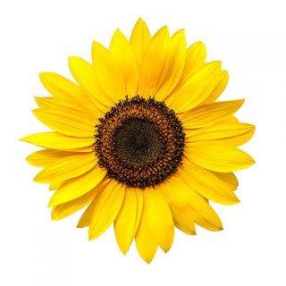 گل آفتابگردان کله قوچی