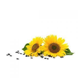 بذر گل آفتابگردان کله قوچی