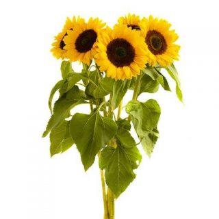 گل آفتابگردان پا بلند زرد ارگانیک