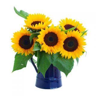 بذر گل آفتابگردان پا بلند زرد