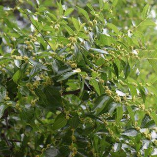 بذر ارگانیک درخت کنار