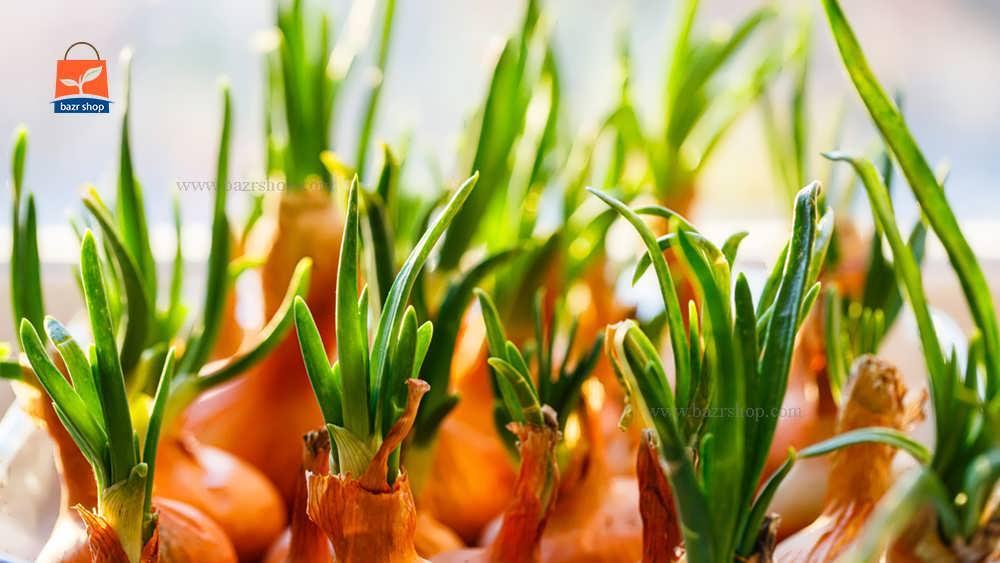 آب و هوای مناسب برای کاشت پیاز گل
