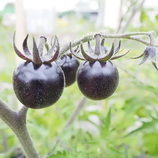 گوجه فرنگی سیاه زیبا