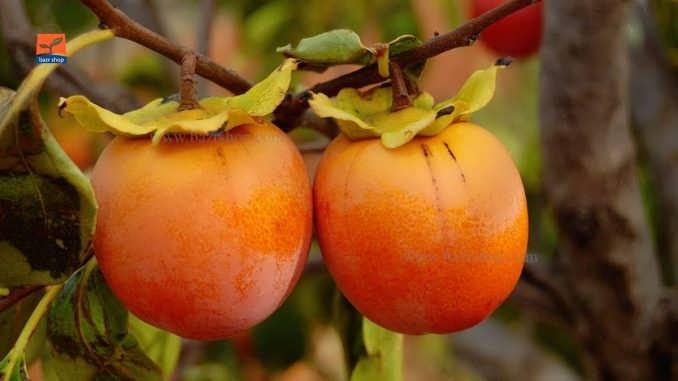 مقاله جامع و کامل درخت خرمالو