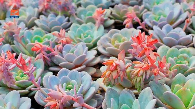 ۱۶۰ نوع شگفت انگیز گیاه ایچوریا همراه با تصاویر