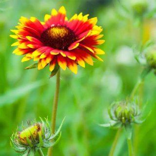 بذر گل رعنای زیبای الوان