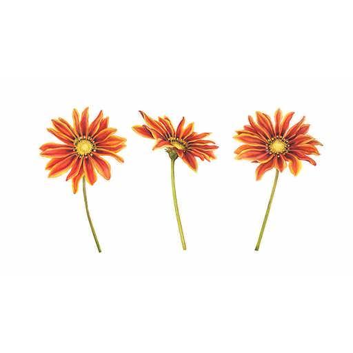 بذر گل گازانیا زرد