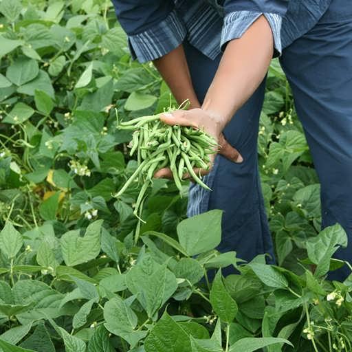 گیاه لوبیا سبز