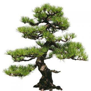 بذر درخت بونسای کاج ژاپنی
