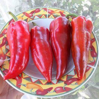 بذر فلفل دلمه ای قرمز ایتالیایی