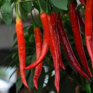 گیاه فلفل قرمز پابلند