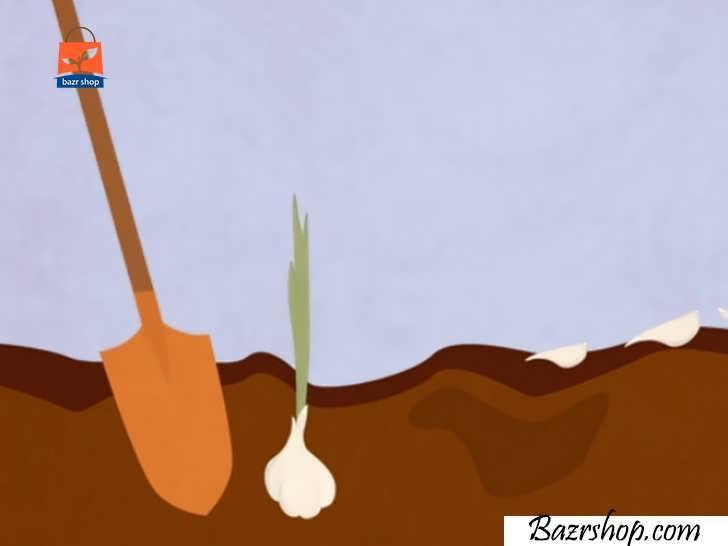 خاک اطراف هر پیاز را با بیلچه نرم کنید