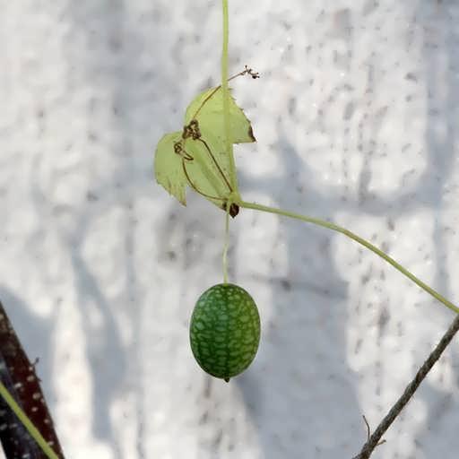 بذر خیار مکزیکی