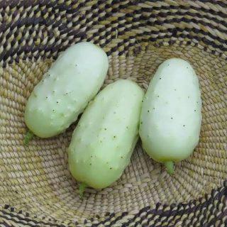 بذر خیار سفید مینیاتوری