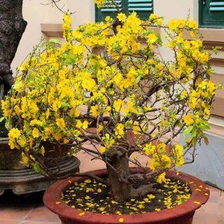 درخت گل زرد مای