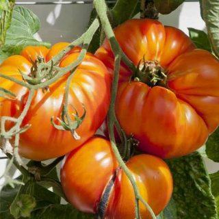بذر گوجه فرنگی زرد بیف استیک کنتاکی