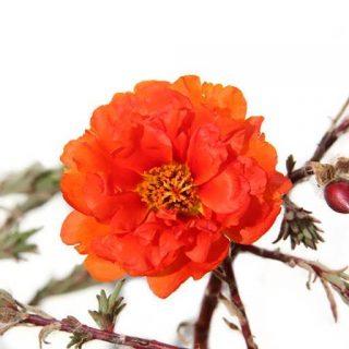 بذر گل ناز آفتابی نارنجی