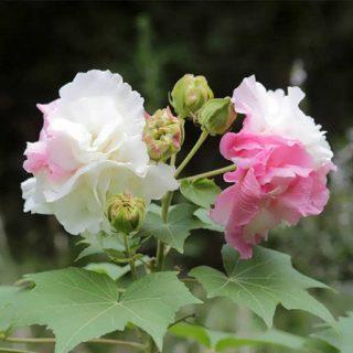گل ختمی پا بلند صورتی پرپر