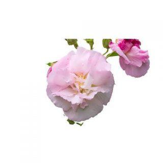 بذر گل ختمی پا بلند صورتی پرپر