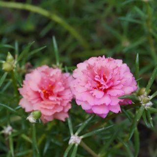 گل ناز آفتابی ارغوانی
