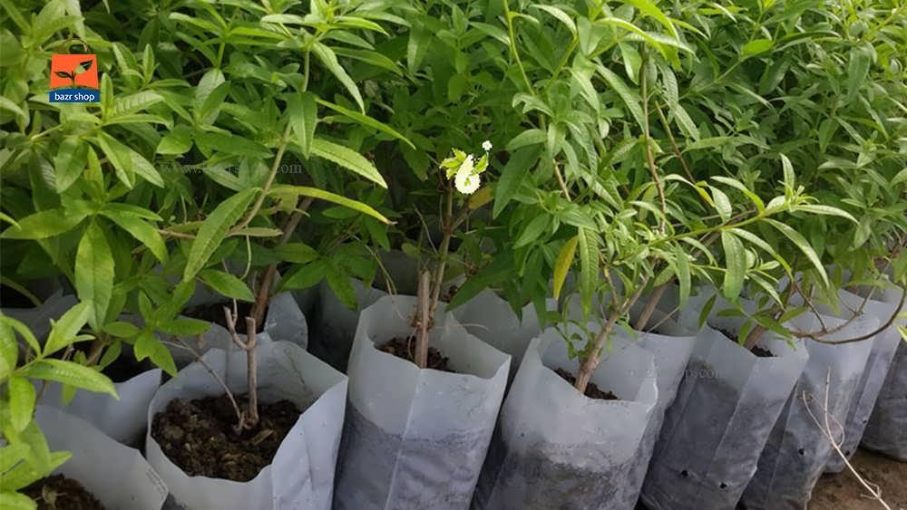 شرایط اکولوژیک رشد درخت به