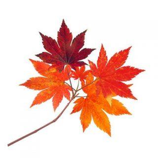 برگ درخت افرا قرمز