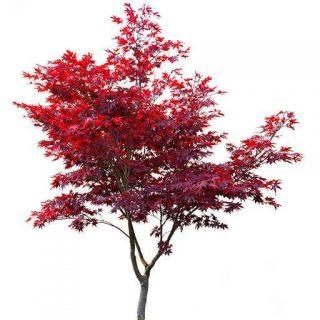 بذر درخت افرا قرمز