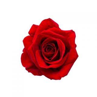 بذر گل رز قرمز