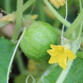 خیار سیب سبز ریچارد