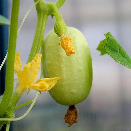 گیاه خیار سیب سبز ریچارد