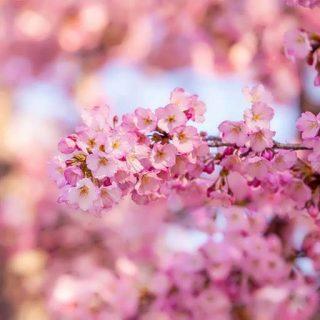 بذر درخت ساکورای ژاپنی