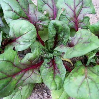 گیاه بیبی اسفناج قرمز کیتن