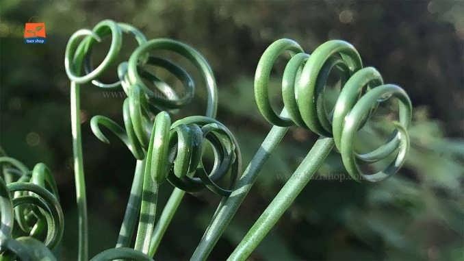 راهنمای کامل پرورش و نگهداری از گیاه آلبوکا مارپیچ