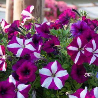 گل اطلسی ستاره ای ارغوانی و سفید