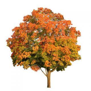 بذر درخت افرا قرمز شیرین