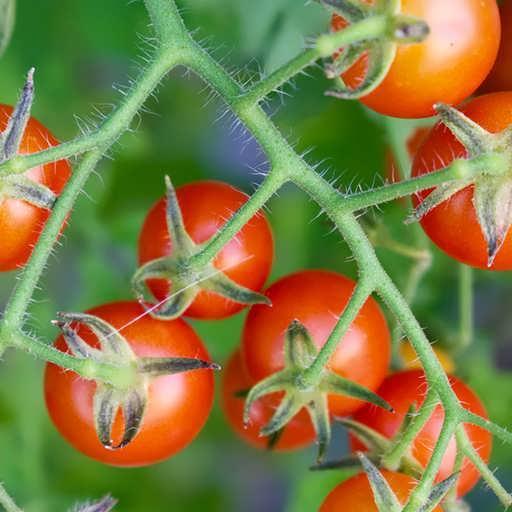 درخت گوجه فرنگی کوچک