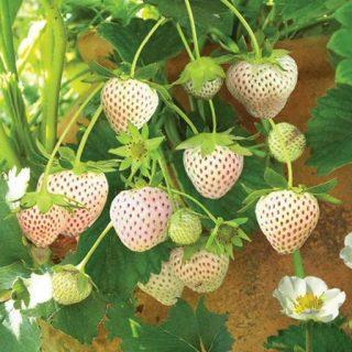 توت فرنگی سفید آناناسی