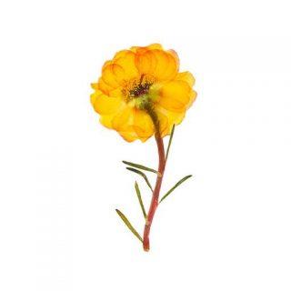 بذر گل ناز آفتابی زرد