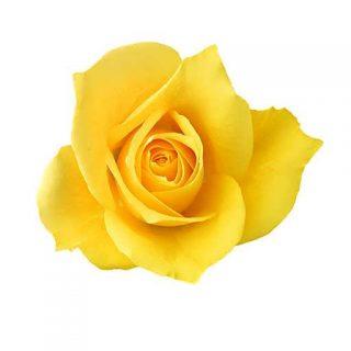 بذر گل رز زرد