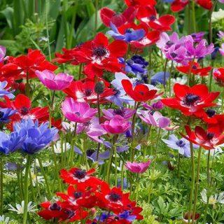 بذر گل شقایق نعمانی