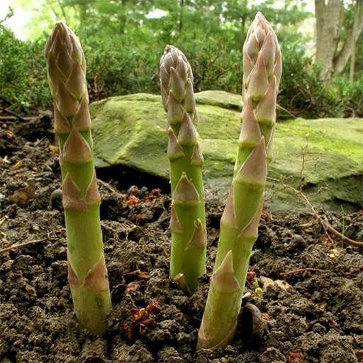 گیاه مارچوبه مری واشنگتن