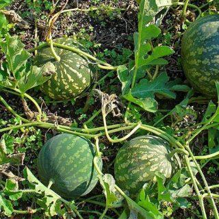 هندوانه ابوجهل نیجریه
