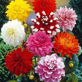 بذر گل کوکب بذری پابلند الوان