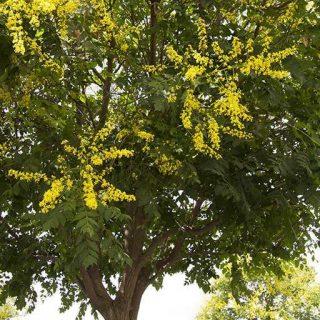 درخت باران طلایی زیبا