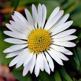 بذر گل مینا چمنی سفید