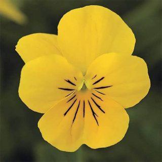 بذر گل بنفشه فسفری