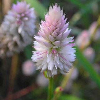 بذر گل تاج خروس سفید