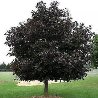 درخت افرا پلانتانید