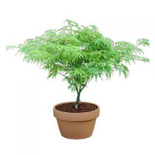 بذر درخت افرا سبز