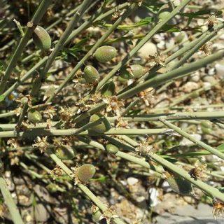 بذر درخت بادام ارژن